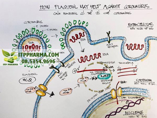 Cơ chế giúp cho Plaquenil có thể hỗ trợ trong điều trị Virus Corona chủng mới