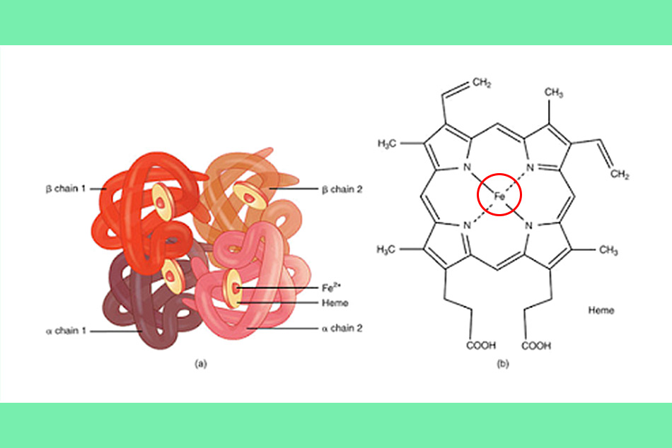 Sắt là thành phần quan trọng cấu tạo nên hồng cầu