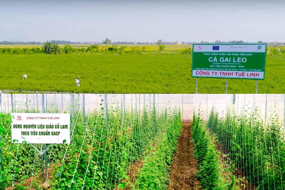 Vùng trồng Giảo cổ lam và Cà gai leo đạt chuẩn GACP – WHO của Tuệ Linh
